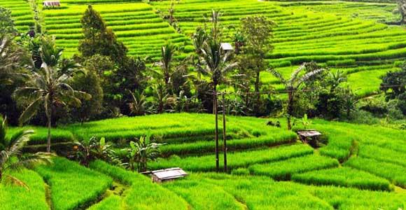 Desa Jatiluwih Tabanan - Wisata Alam Bali