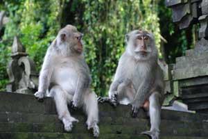 Tempat Wisata Melihat Kera Bali