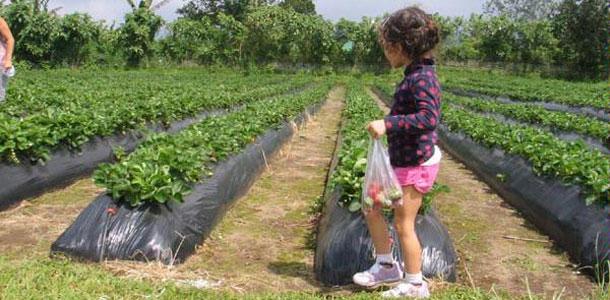 Bali Strawberry Farm & Restaurant Bedugul