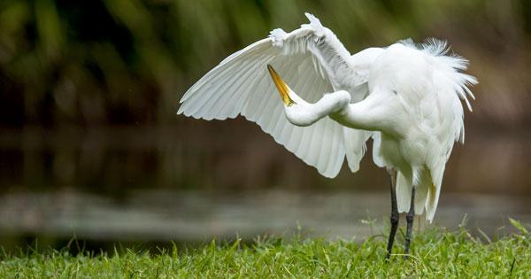 Burung Bangau Desa Petulu