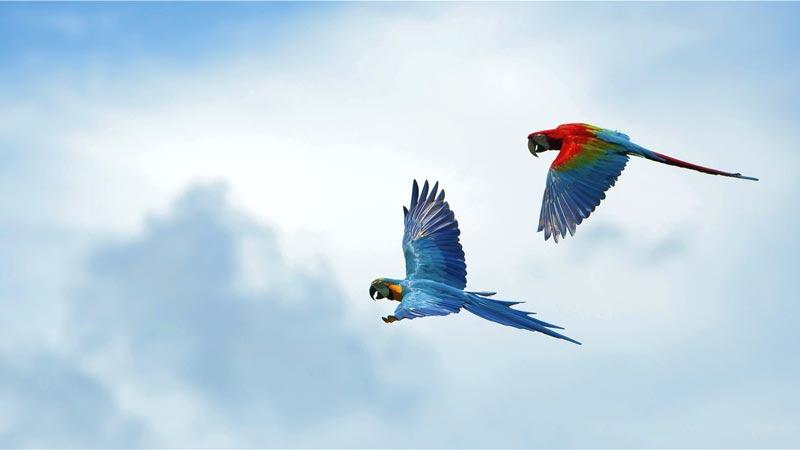 Pertunjukan Burung Terbang